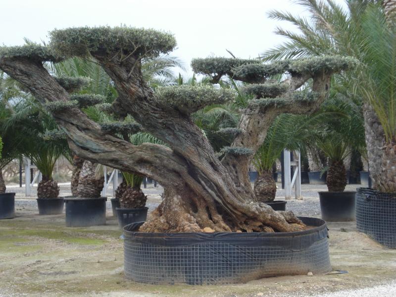 ulivi bonsai