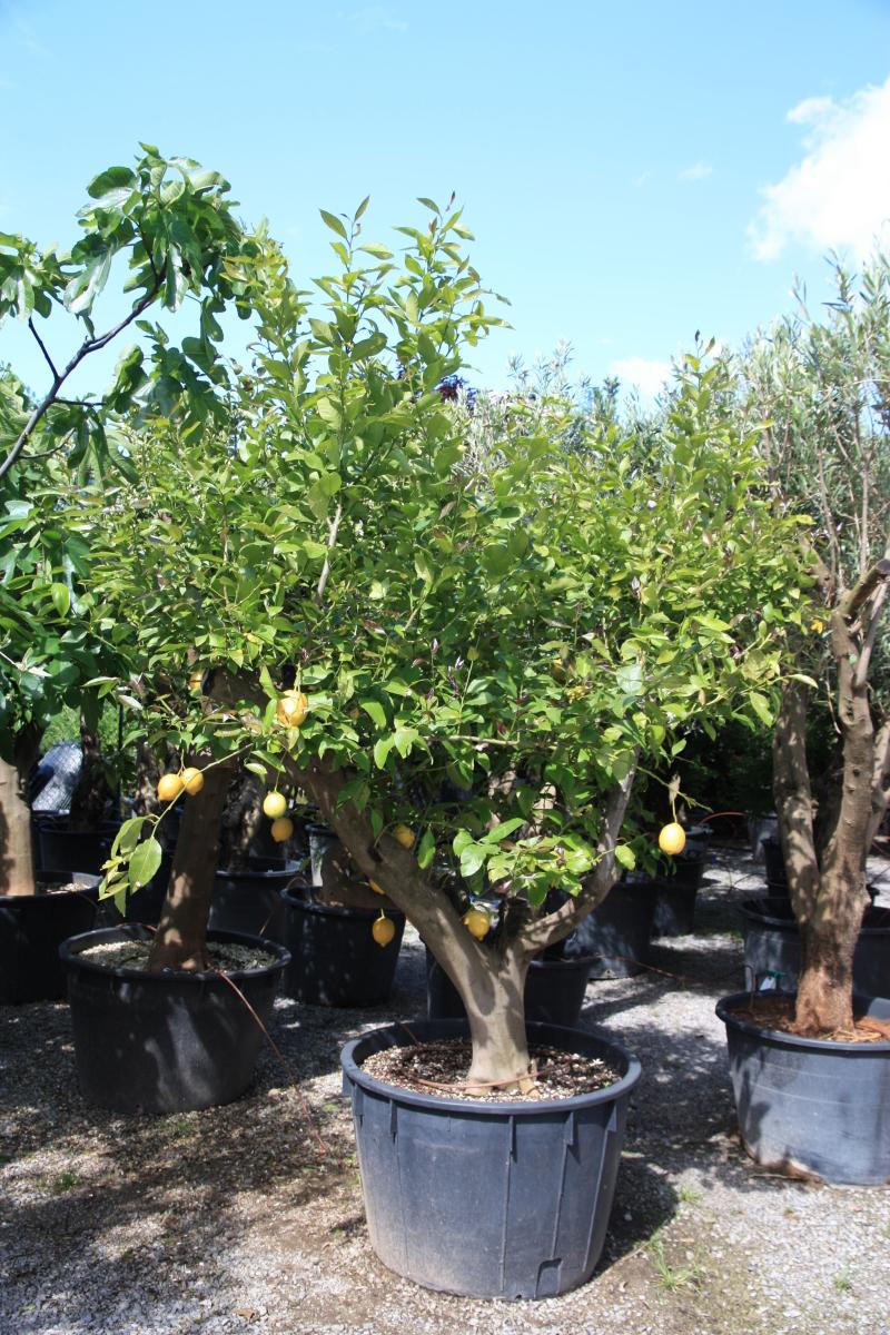 Limoni citrus limon azienda florovivaistica rusconi luigi for Limoni in vaso