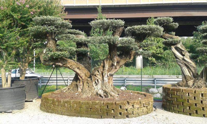 Ulivi bonsai azienda florovivaistica rusconi luigi for Vasi bonsai giapponesi