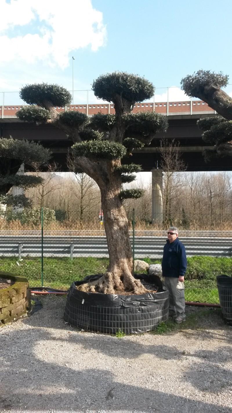 Ulivi bonsai azienda florovivaistica rusconi luigi for Aiuola con olivo