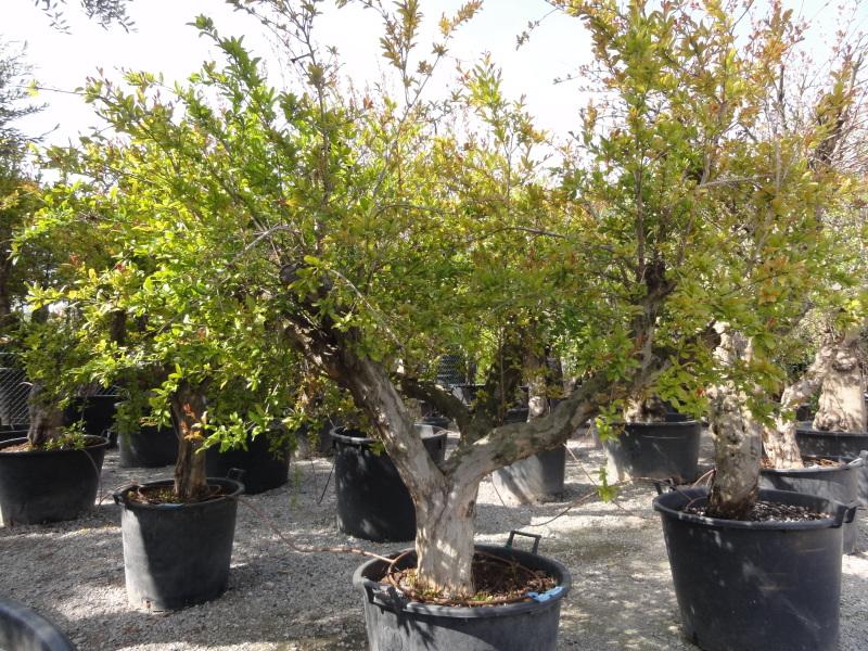 Melograno azienda florovivaistica rusconi luigi for Bonsai da frutto vendita
