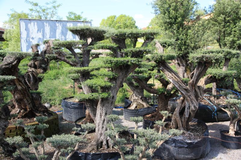 Ulivi bonsai azienda florovivaistica rusconi luigi for Bonsai pianta