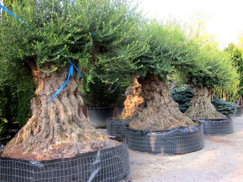 Ulivi secolari azienda florovivaistica rusconi luigi for Alberi in vendita