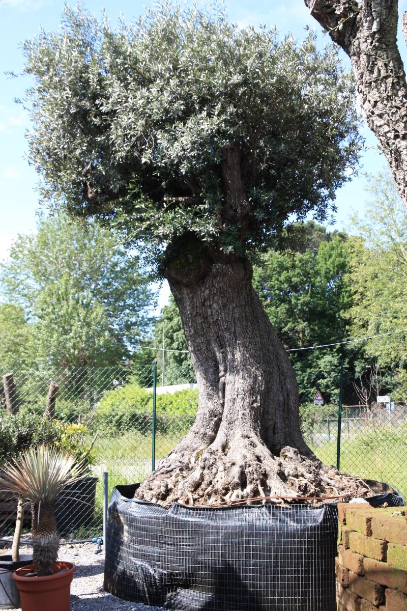 Ulivi secolari azienda florovivaistica rusconi luigi for Aiuola con olivo