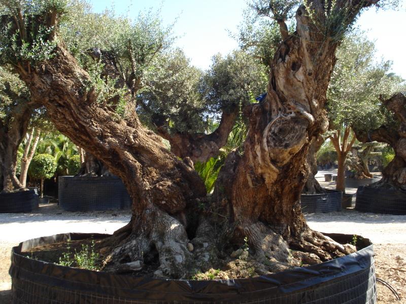 Ulivi millenari azienda florovivaistica rusconi luigi for Vendita piante olivi