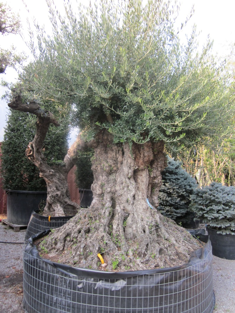 Piante Di Ulivo In Vendita : Ulivi secolari azienda florovivaistica rusconi luigi