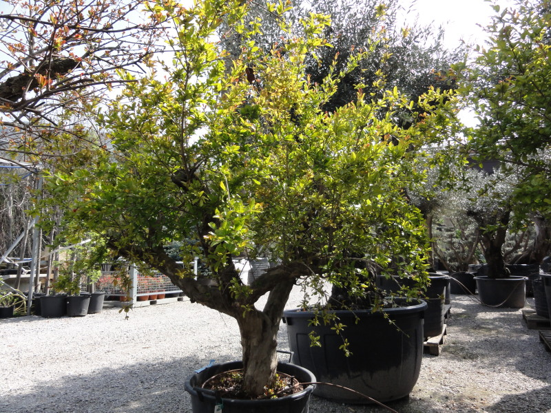 Melograno azienda florovivaistica rusconi luigi for Piante vendita