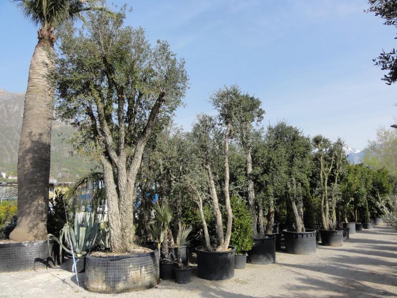 Sughera azienda florovivaistica rusconi luigi - Sughero pianta da giardino ...