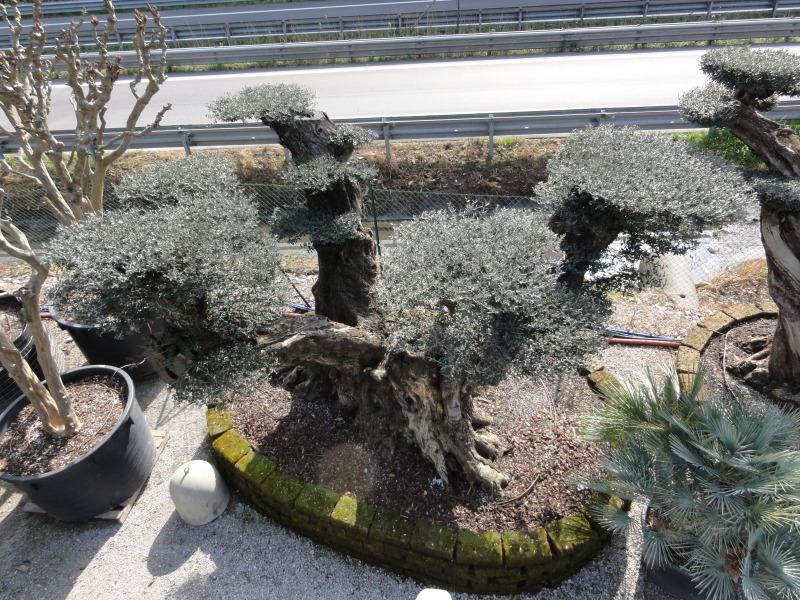 Ulivi bonsai azienda florovivaistica rusconi luigi for Bonsai da frutto vendita