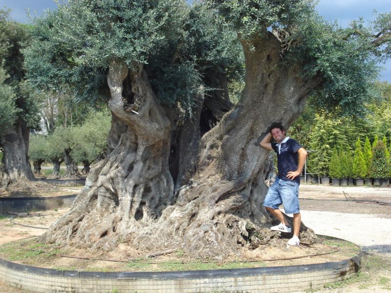 Ulivi millenari azienda florovivaistica rusconi luigi for Alberi in vendita