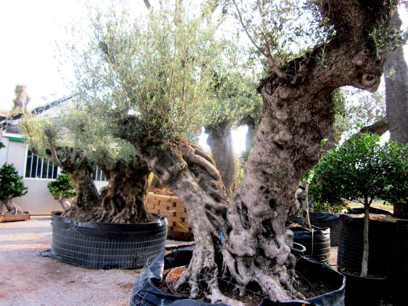 ulivi secolari azienda florovivaistica rusconi luigi