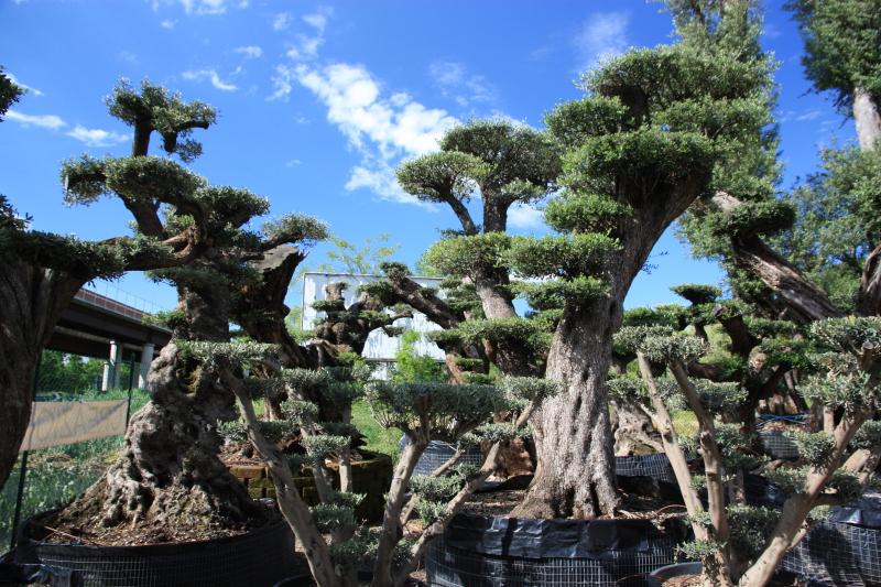 Piante Di Ulivo In Vendita : Ulivi bonsai azienda florovivaistica rusconi luigi