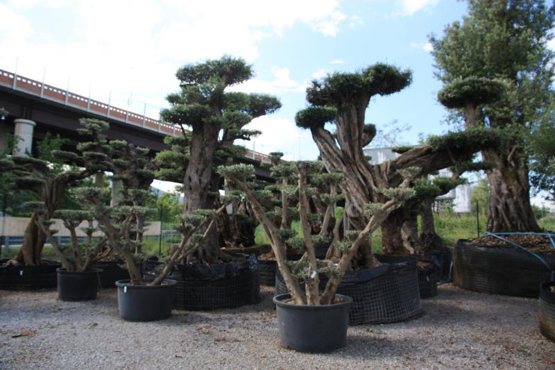Ulivi bonsai azienda florovivaistica rusconi luigi - Giardino con ulivi ...