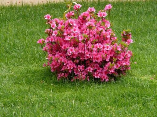Azalea japonica azienda florovivaistica rusconi luigi for Azalea japonica