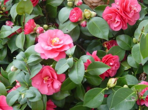 Camellia sasanqua azienda florovivaistica rusconi luigi - Camelia giapponese ...