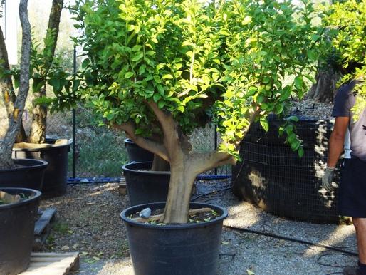 Limoni citrus limon azienda florovivaistica rusconi luigi for Pianta limone 4 stagioni