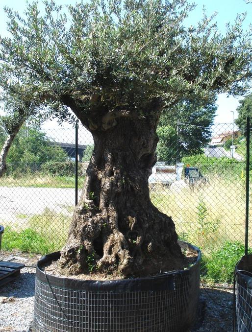 Ulivi bonsai alti azienda florovivaistica rusconi luigi for Ulivi bonsai prezzi