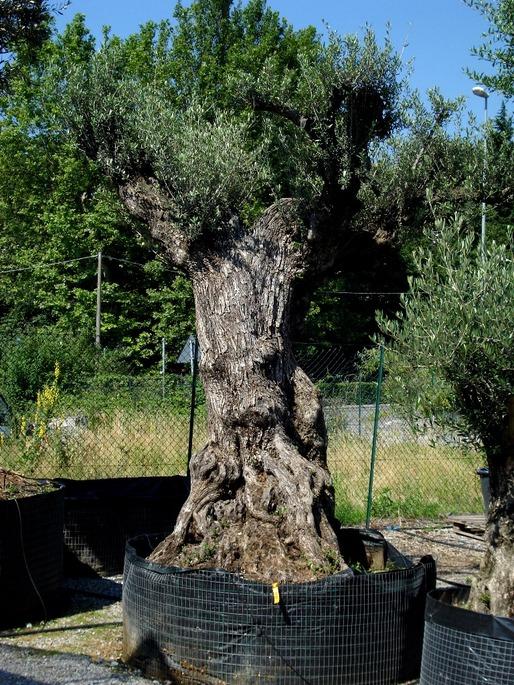 ulivo bonsai alto azienda florovivaistica rusconi luigi