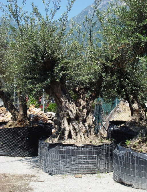 Ulivi maxi bonsai doppi azienda florovivaistica rusconi for Ulivi bonsai prezzi