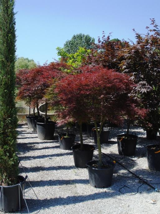 Acer japonicum azienda florovivaistica rusconi luigi for Acero giapponese