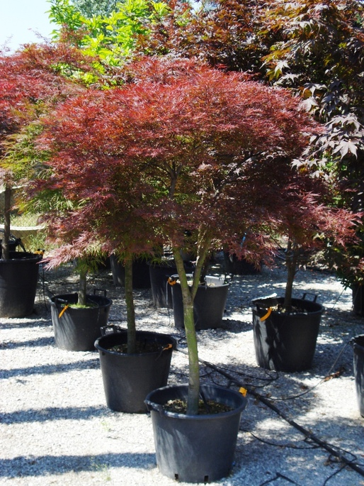 Acer palmatum acero giapponese for Acero giapponese in vaso