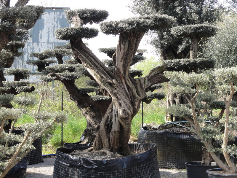 Ulivo bonsai azienda florovivaistica rusconi luigi - Giardino con ulivi ...